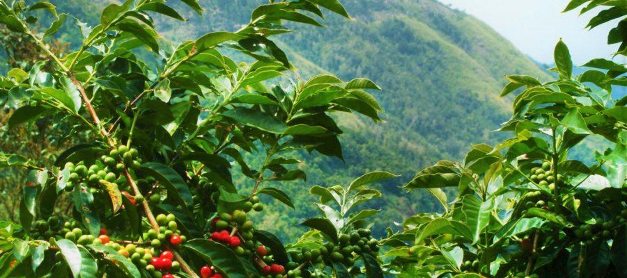 кофе кения